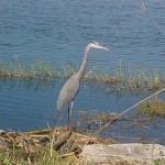 district-12--pahokee__heron